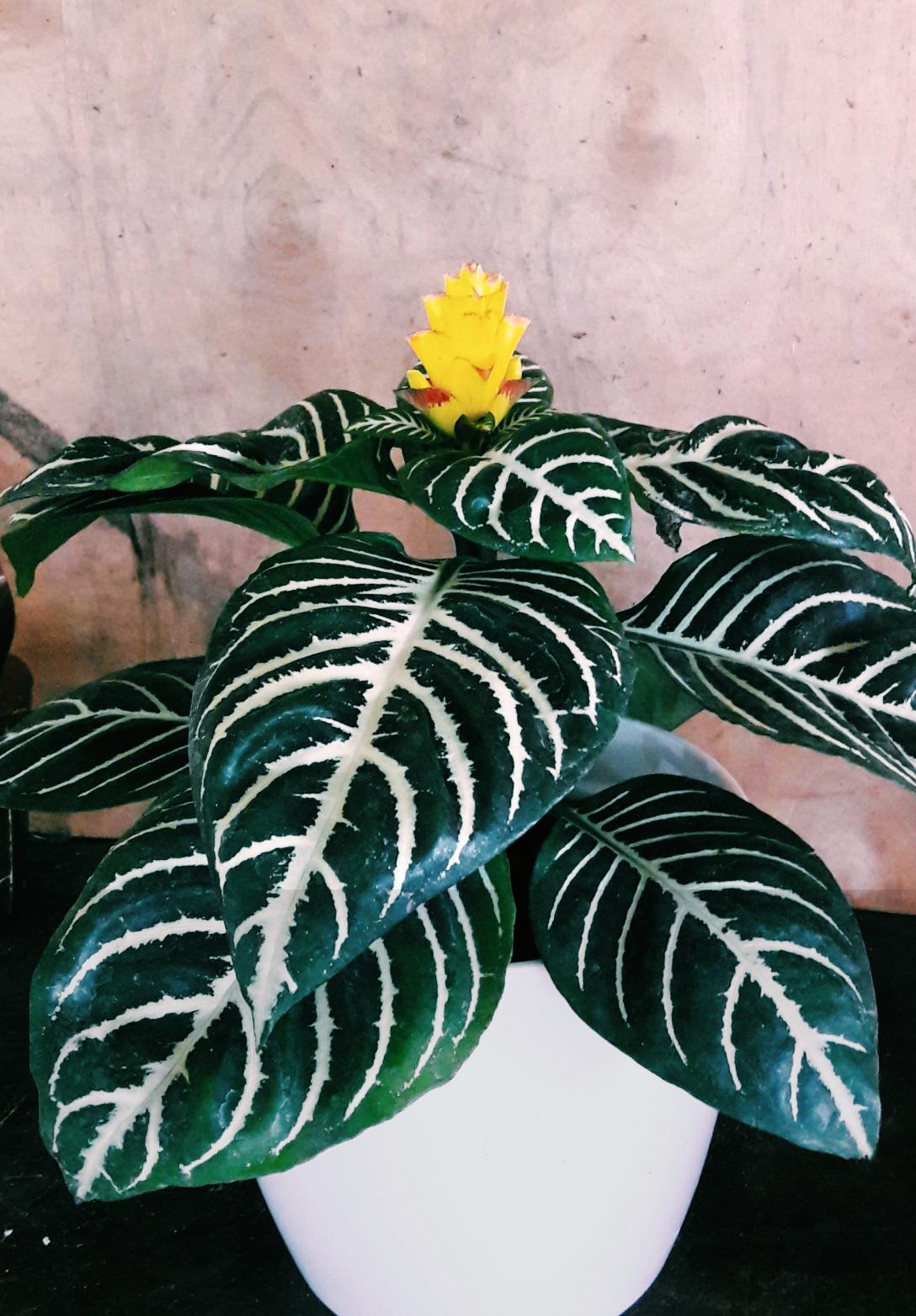 """Aphelandra """"planta madre"""" Rosario"""