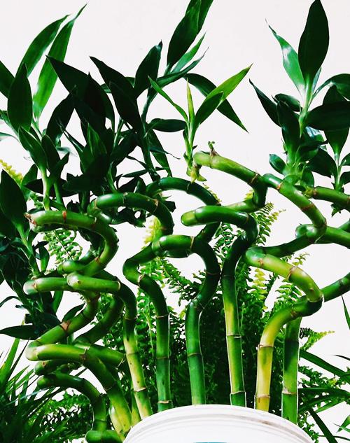 """Bambu de la suerte """"planta madre"""" Rosario"""