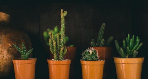 """Cactus """"planta madre"""" Rosario"""