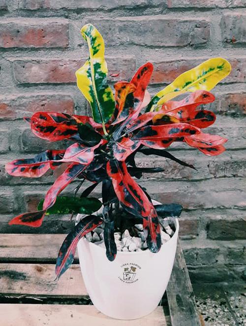 """Croton multicolor """"planta madre"""" Rosario"""