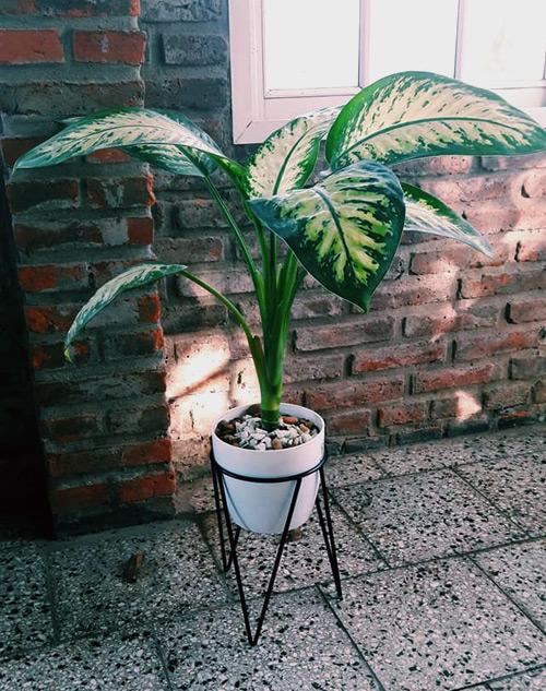"""Diffenbachia """"planta madre"""" Rosario"""