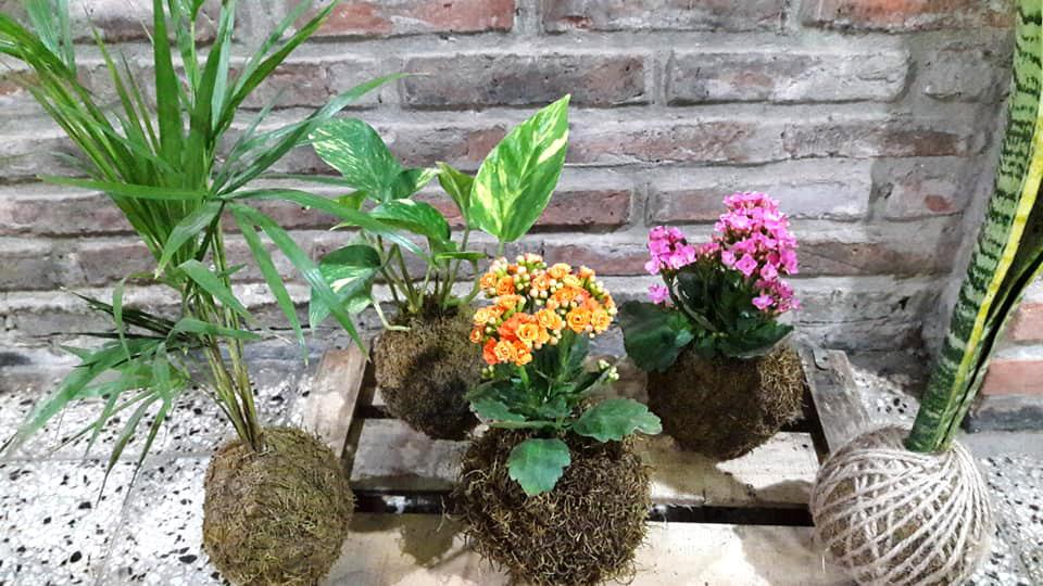 """Kokedamas, técnica de cultivo artesanal japones, """"planta madre"""" Rosario"""