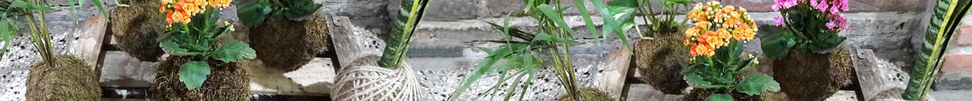 """Kokedama. Técnico de cultivo artesanal japonesa """"planta madre"""" Rosario"""