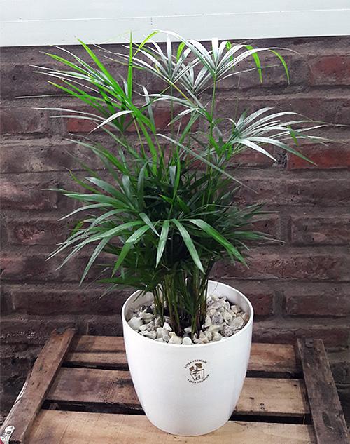 """Palmito de la familia de las palmeras, """"planta madre"""" rosario"""