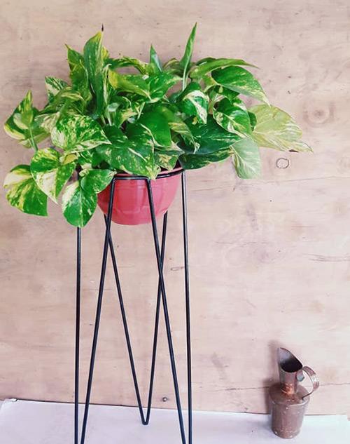 """Potus, planta de interior """"planta madre"""" Rosario"""