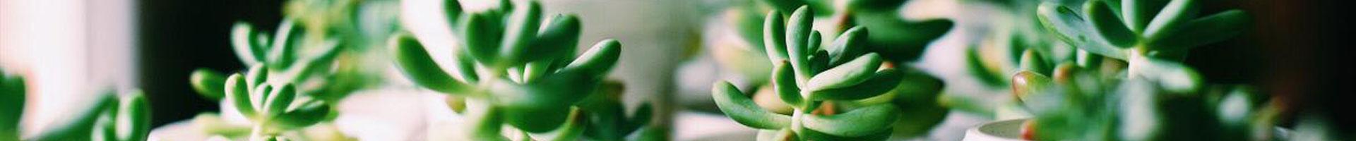 """""""planta madre"""" Venta de plantas de interior, cactus y suculentas"""