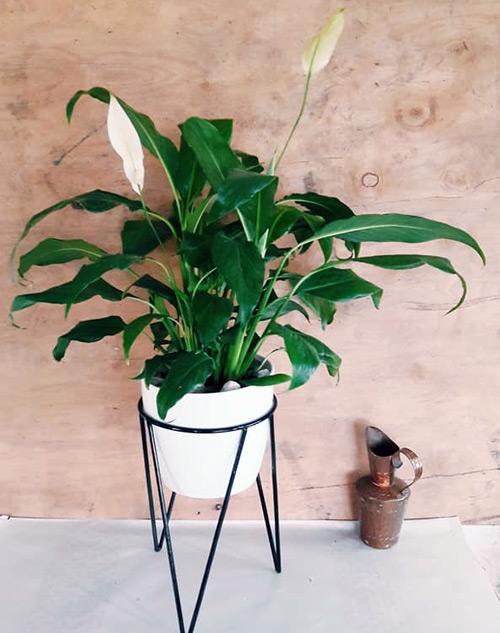 "Spathiphyllum, planta de interior ""planta madre"" Rosario"